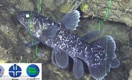 Baby Coelacanth