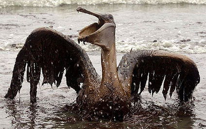 Oil Soaked Pelican