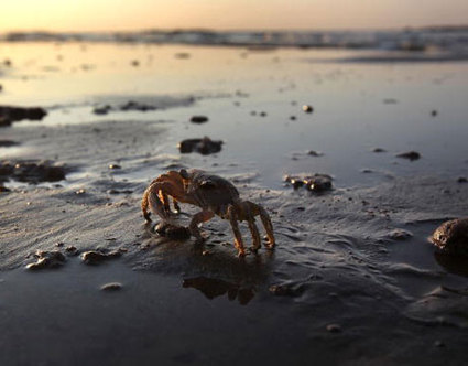 Crab walking on oil covered shore
